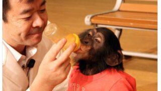 チンパンジープリンちゃん画像